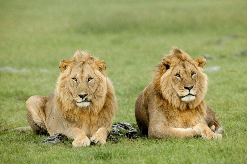 Photo of Пет лавова побјегло из Националног парка Кругер