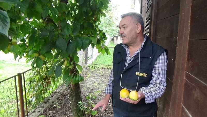 Photo of U Sanskom Mostu odlično rodila japanska jabuka