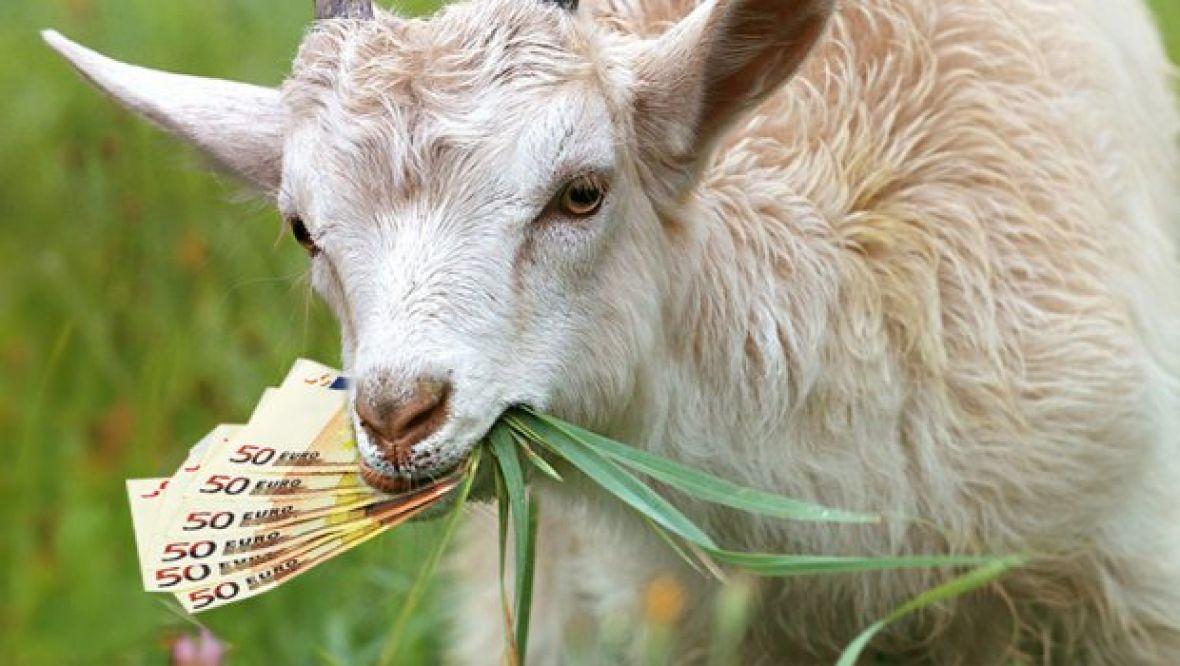 Картинка коза ест капусту
