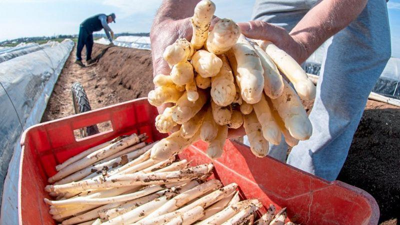 Photo of U Austriji sve više Bosanaca među sezonskim radnicima koji beru šparoge i krastavce