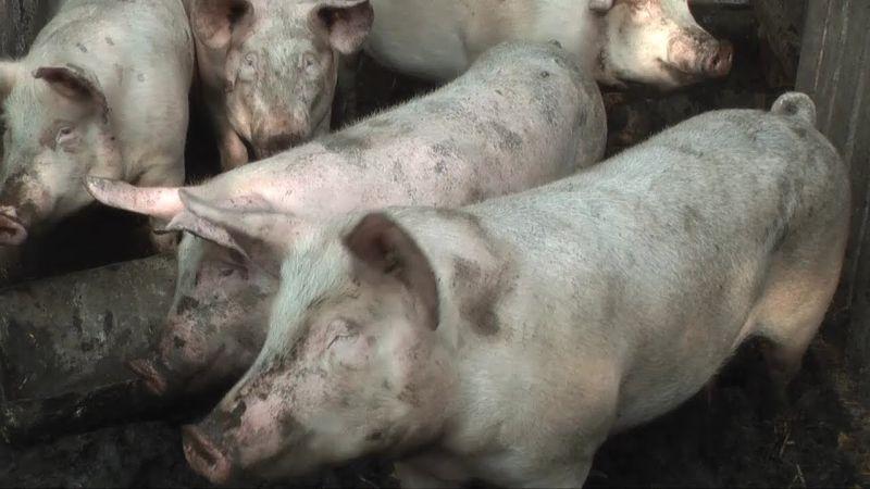 Photo of У БиХ формиран Заједнички центар за контролу афричке куге свиња
