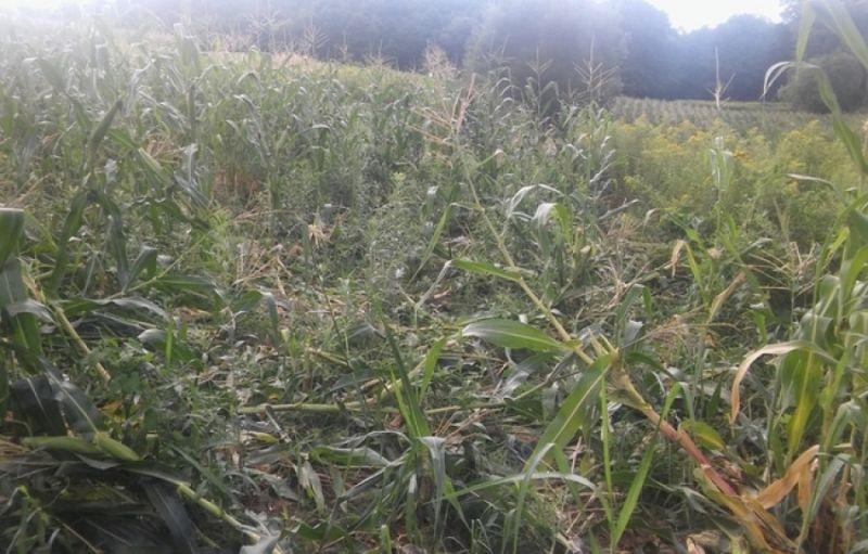 Photo of Divlje svinje napravile štetu na poljoprivrednim parcelama u Maoči