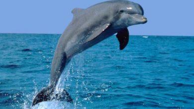 Photo of Sedam razloga zbog kojih se morski psi boje delfina