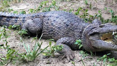 Photo of Muškarac u Ruandi prekršio mjere izolacije da ode na pecanje pa ga pojeo krokodil