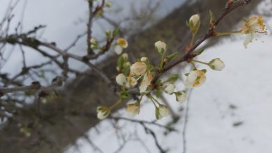Photo of Mraz i snijeg značajno naštetio voćnim zasadima u Distriktu