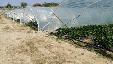 Photo of Zbog ograničenja izvoza u EU brčanski voćari trpe velike štete