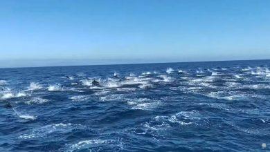 """Photo of """"Stampedo"""" oko 300 delfina u Californiji (Video)"""