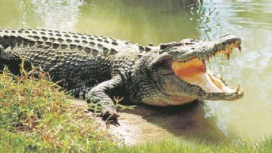 Photo of Indonezija: Seljani ubili pola tone teškog krokodila za koga su vjerovali da je zli duh